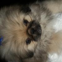 Beautiful Pekingese male puppy for sale