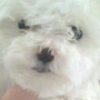 Miniature Maltese poodles.
