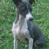 Italian Greyhound Puppies Registered