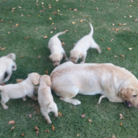 Labrador puppys for sale