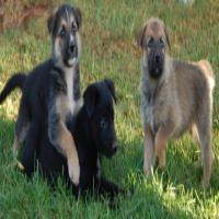 German shepherd x Border collie puppies