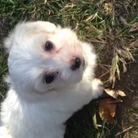 Maltese male pups