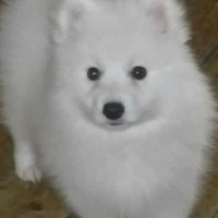 Lovely and adorable 16weeks old Female Japanese spitz for sale