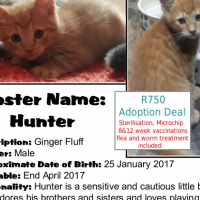Hunter - A gorgeous ginger CatzRUs kitten available for adoption in Pretoria East
