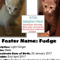 Fudge - a soft light ginger kitten from CatzRUs. Adoption fee incl Sterilisation, etc