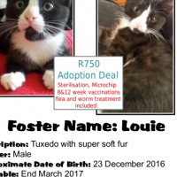 Louie - a CatzRUs Kitten. Price Incl Sterilisation, Microchip, 8&12 week vaccinations, etc