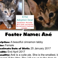 Ané - a tabby kitten with cinnamon markings and a beautiful 'M'. A CatzRUs Adoption Pretoria East.