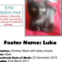 Luka - A smokey black kitten with tabby stripes. A CatzRUs rescue kitten.