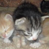 6week old Kittens