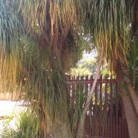 Ponytail Palm Tree for sale