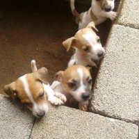 Jack russle puppies for sale