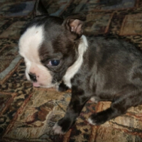 Boston terier female puppy