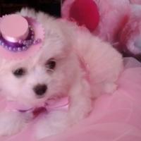 Kusa registered Pure bred Miniature Maltese puppies