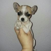 Chihuahua femal very small availabil