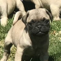 Pure  Bred  Pug  pups