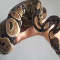 Female ball python for sale