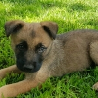 Malinois Shepherd puppies