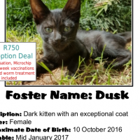 Dusk is a beautiful charcoal kitten - a CatzRus Adoption