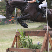 Amazing Warmblood Gelding