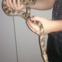 Albino Corn snake With  Cage and heatpad