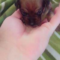 Miniature Pinscher puppy - Bokkie hondjie