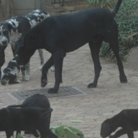 Pure Bred Great Dane Puppies