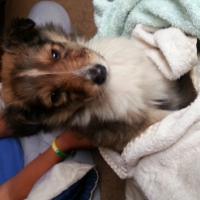 Rough Collie Lassie Puppies