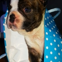 Purebred Boston Terrier puppies for sale
