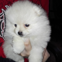 Teacup toy pom puppies for sale