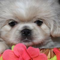 Registered Pekingese Pups