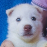 Siberian Husky Pup (White with green eyes - unique)