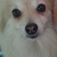 Pomeranian needs new home!