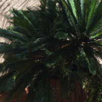 CYCADS and COCUS PALMS FOR SALE