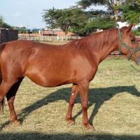 Pretty x breed mare