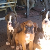 Boxer pups
