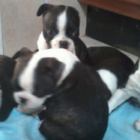 Boston Terrier puppies for sale , de wormed , vacc with Vet Certificates 5x puppies , Male & Female