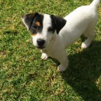 FoX Terrier beskikbaar. (Kortbeen). Sowat 3 maande oud.  Pretoria Oos-Garsfontein