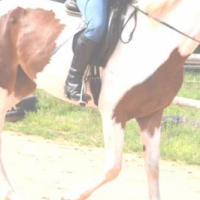 Pretty Skewbald Mare, very special horse.