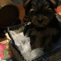 Stunning Male Yorkies For Sale
