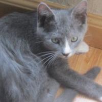 Casper - a fluffy Grey and white kitten from CatzRUs Pretoria East