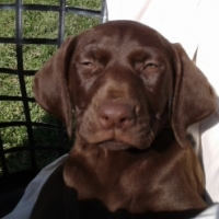 Incredible Liver German Shorthair Pointer Puppies