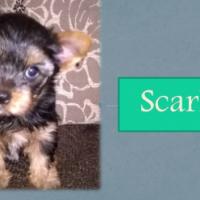 Purebred / Pedigree Yorkshire Terrier Puppies for sale (KUSA Registered)