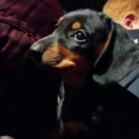 Miniature Dachshund Puppies for sale (worsies / worshondjies)