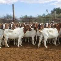 I have a selection of full blood Boer goats & Sheep for sale.
