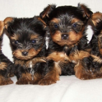 Yorkshire Terrier 4x miniature female puppies