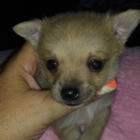 Chihuahua x Toypom puppy's