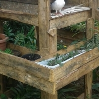 Faintail Pigeons male and Female with wooden Cage for sale