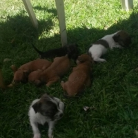 YorkiePuppies