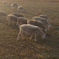 Stud White Head Dorper Sheep sale
