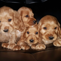 Awesome little Spaniel puppies
